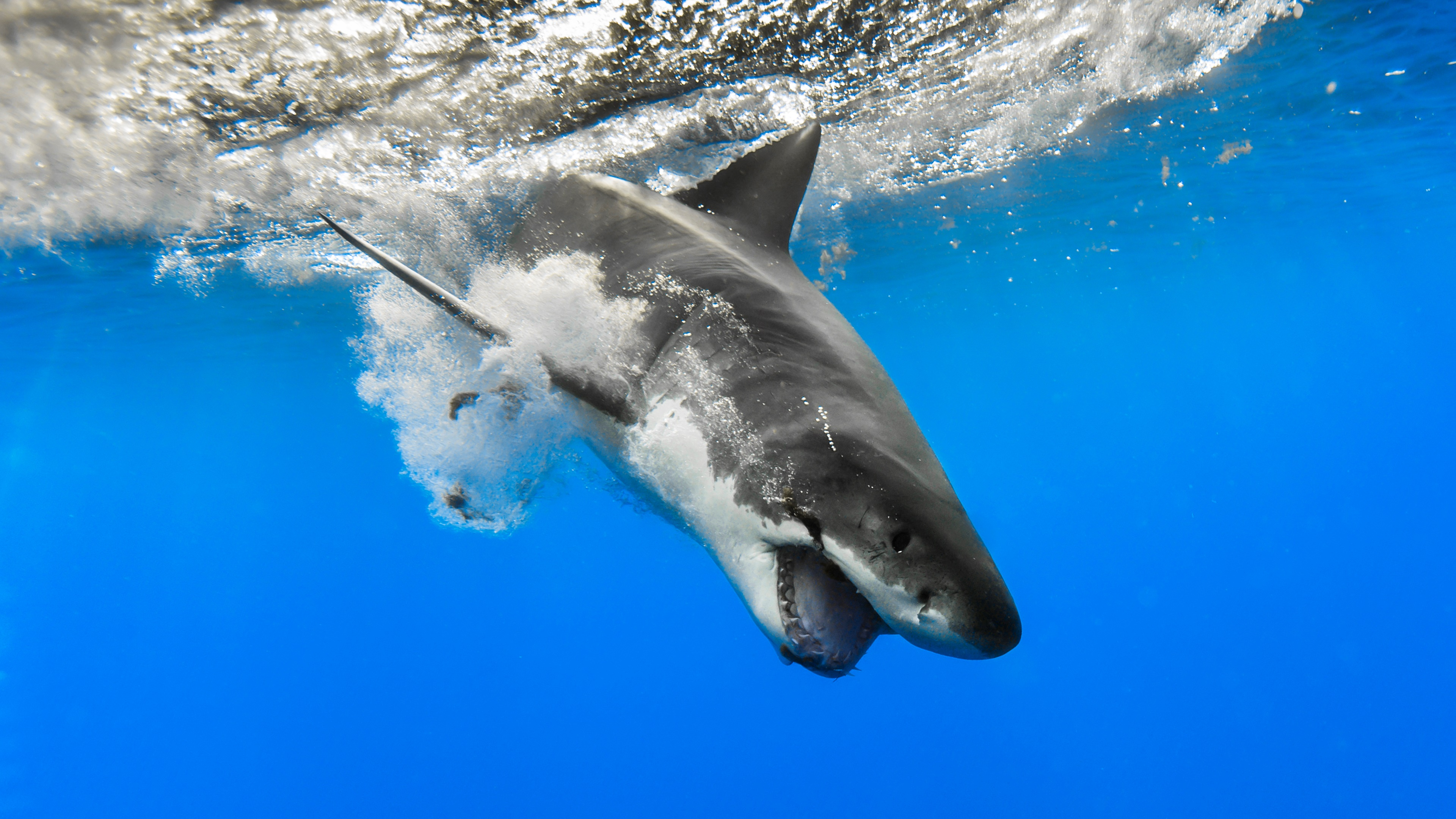 Great White Shark 4k Ultra Fondo De Pantalla Hd Fondo De