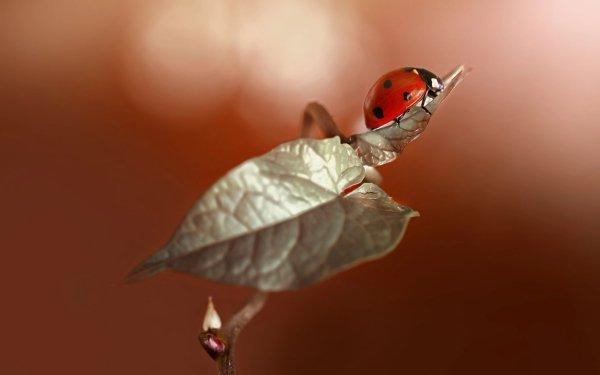 Animal Ladybug Insect Macro HD Wallpaper | Background Image