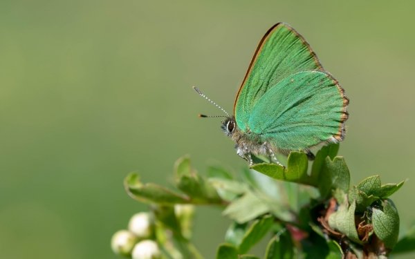 Animal Butterfly Insect Macro Green Hairstreak HD Wallpaper   Background Image