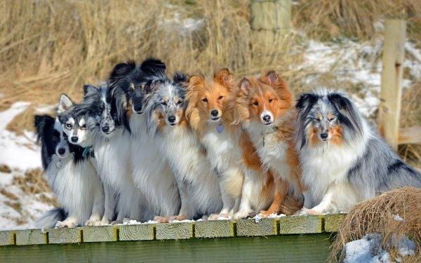 Animal Dog Dogs Pet Border Collie Shetland Sheepdog Alaskan Klee Kai HD Wallpaper   Background Image