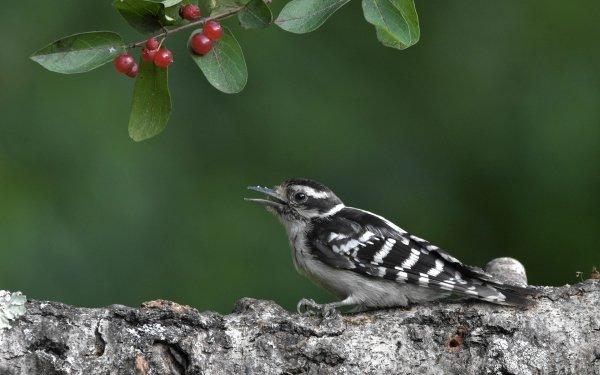 Animal Woodpecker Birds Woodpeckers Downy Woodpecker Bird Wildlife HD Wallpaper | Background Image