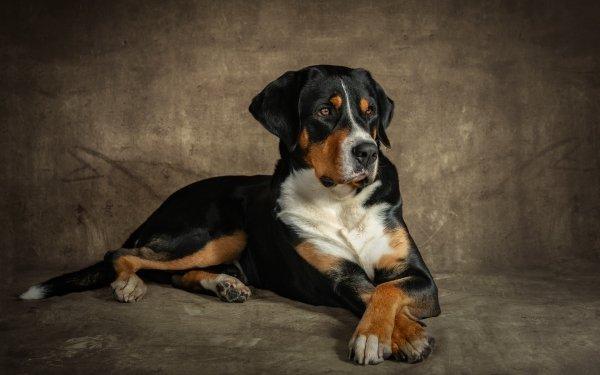 Animal Dog Dogs Pet Appenzeller Sennenhund HD Wallpaper | Background Image