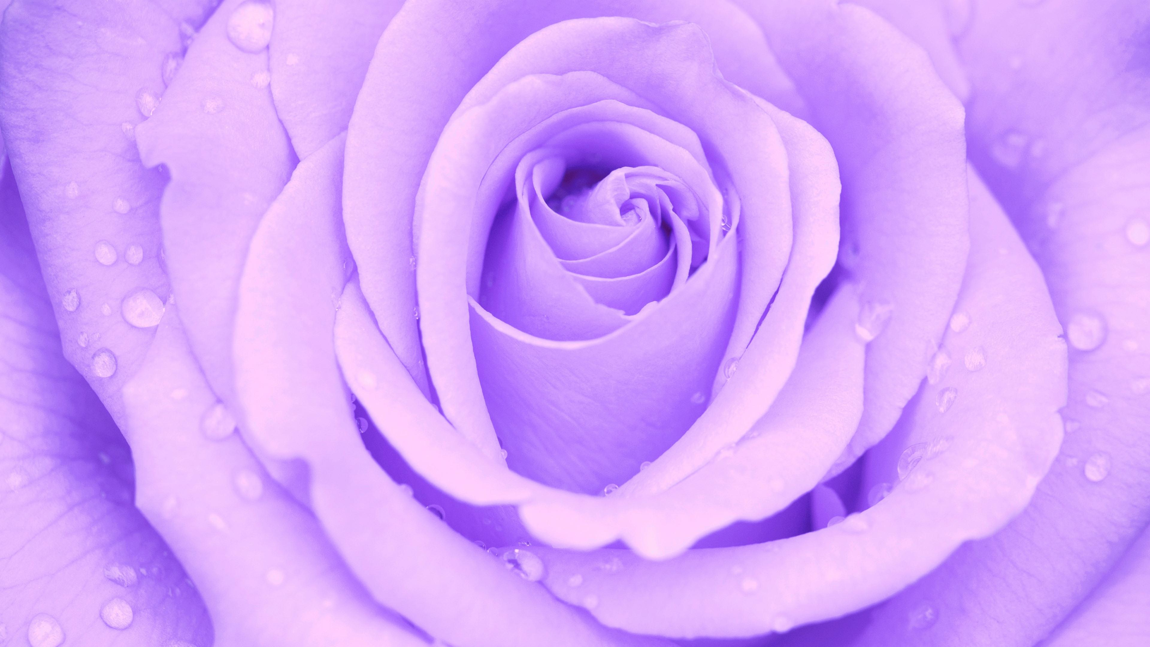 Light Purple Rose 4k Ultra Hd Wallpaper Background Image