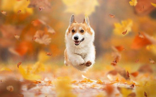Animal Corgi Dogs Fall Leaf Dog Pet HD Wallpaper | Background Image