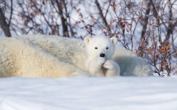 Animal Polar Bear Bears Cub Cute HD Wallpaper | Background Image