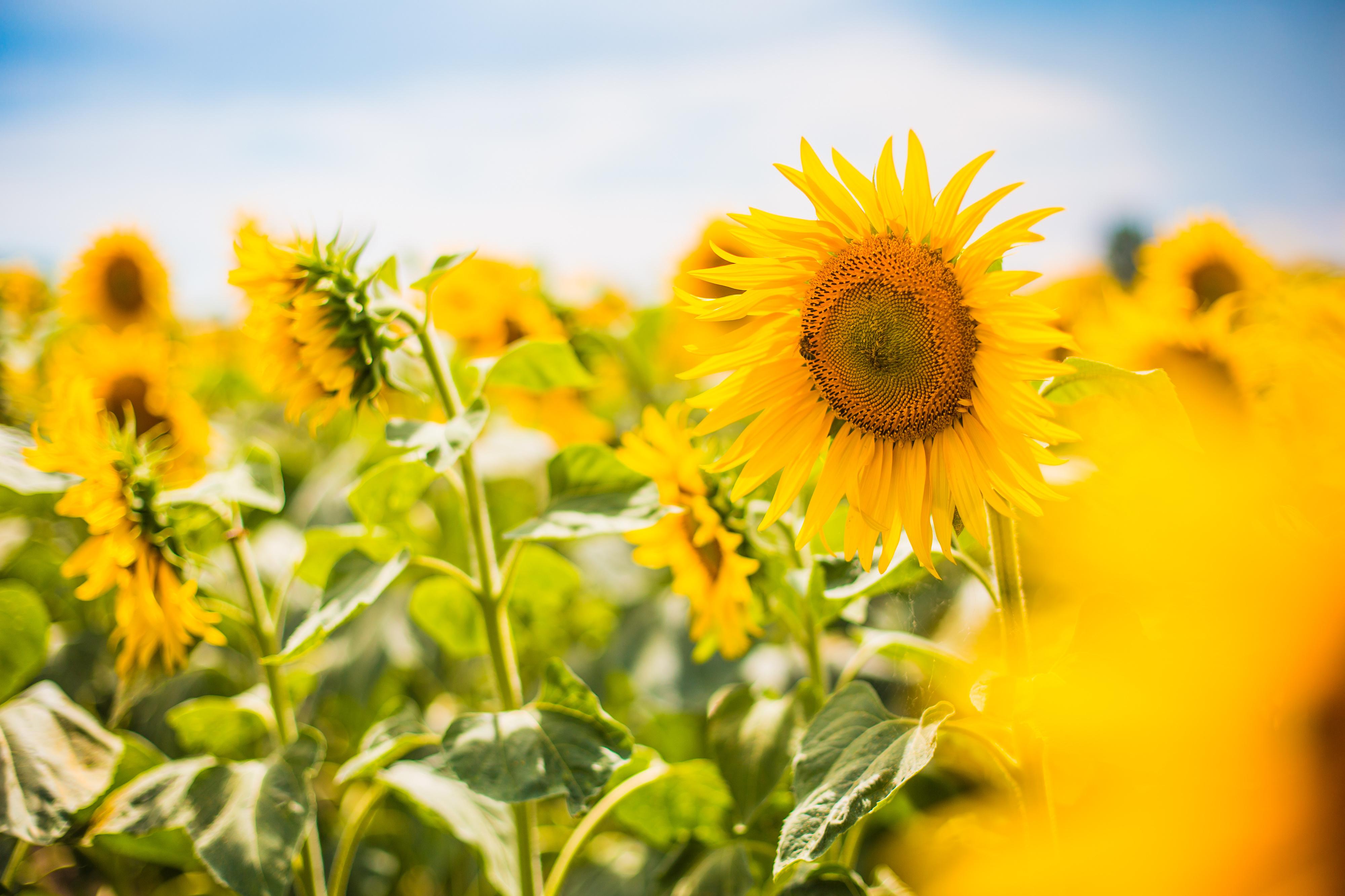 Bright Yellow Sunflowers 4k Ultra HD Wallpaper ...