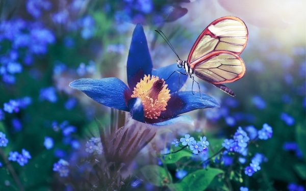 Animal Butterfly Macro Flower Nature Anemone Insect Blue Flower HD Wallpaper   Background Image