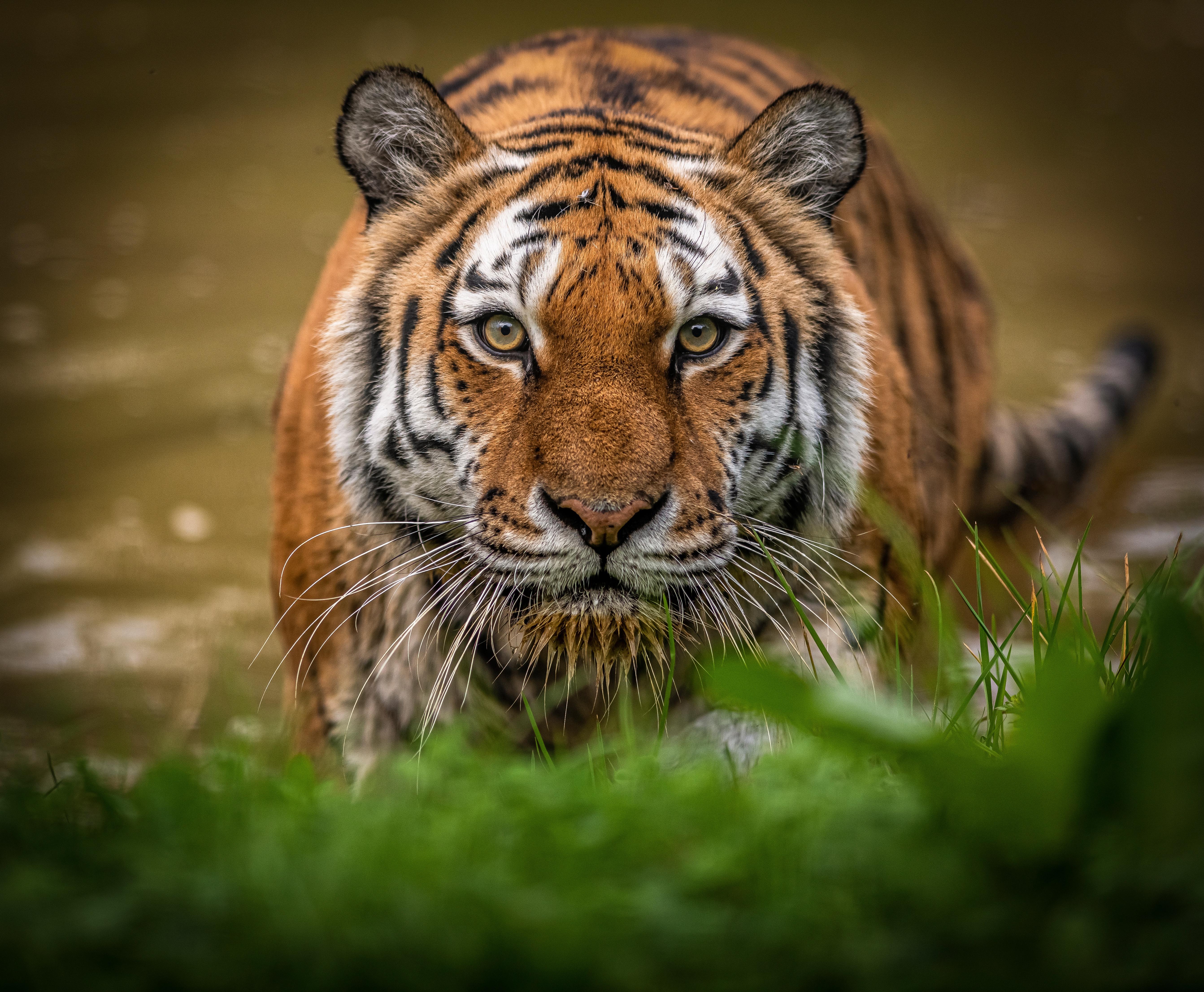 老虎图片 老虎高清壁纸 动物壁纸-第3张