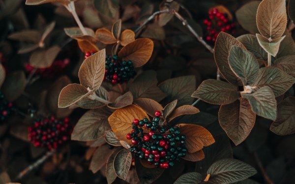 Tierra/Naturaleza Planta Hoja Baya Fondo de pantalla HD | Fondo de Escritorio