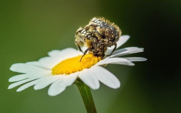 Animal Beetle Chamomile Flower Macro HD Wallpaper   Background Image