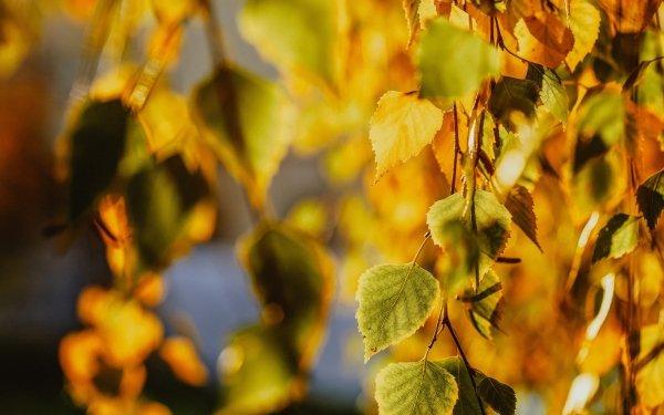 Earth Leaf Fall Birch HD Wallpaper | Background Image