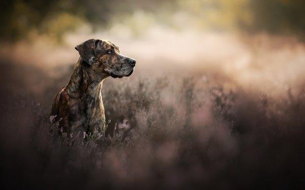 Animal Great Dane Dogs Dog Pet Depth Of Field HD Wallpaper   Background Image