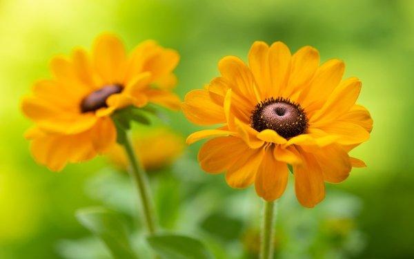 Earth Black-Eyed Susan Flowers Rudbeckia Flower HD Wallpaper   Background Image
