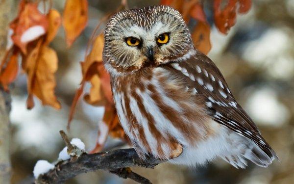 Animal Owl Birds Owls Bird Branch Wildlife Boreal Owl HD Wallpaper | Background Image