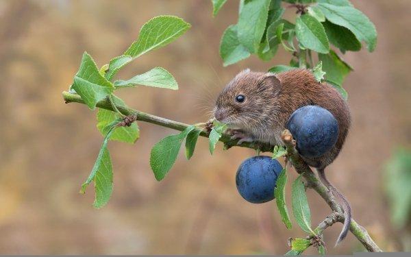 Animal Rodent Branch Plum Vole Wildlife HD Wallpaper   Background Image