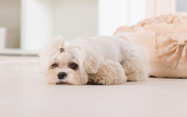 Animal Maltese Dogs Dog Pet HD Wallpaper   Background Image