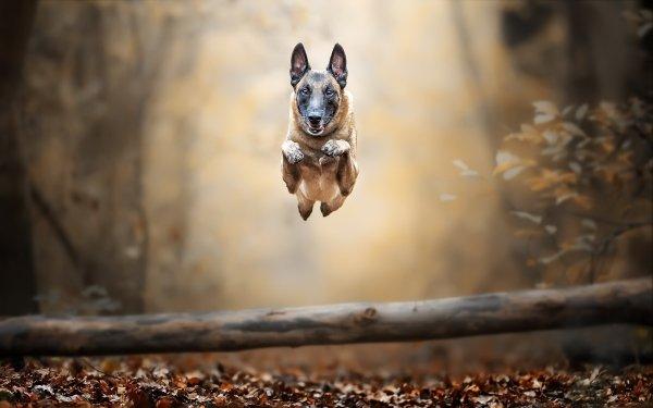 Animal Belgian Malinois Dogs Belgian Shepherd Malinois Dog Pet HD Wallpaper   Background Image