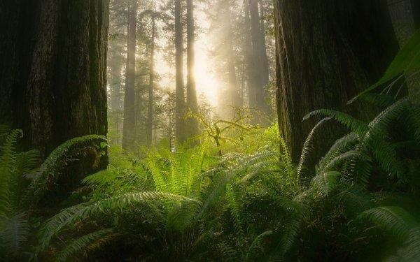 Earth Fern Forest Sunbeam Sequoia Greenery HD Wallpaper   Background Image