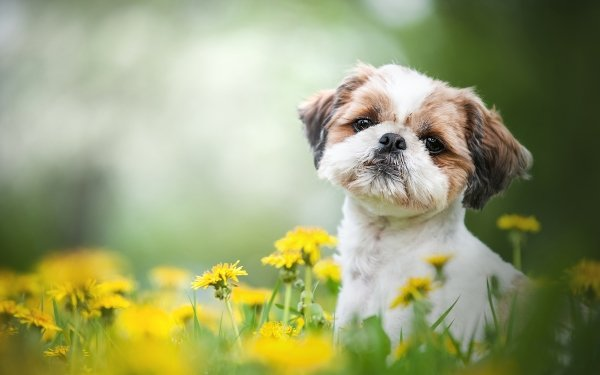 Animal Shih Tzu Dogs Dog Pet HD Wallpaper   Background Image