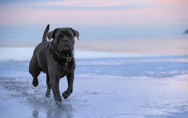 Animal Cane Corso Dogs Dog Pet HD Wallpaper | Background Image
