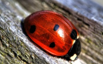 Animal - Ladybug Wallpapers and Backgrounds ID : 283315
