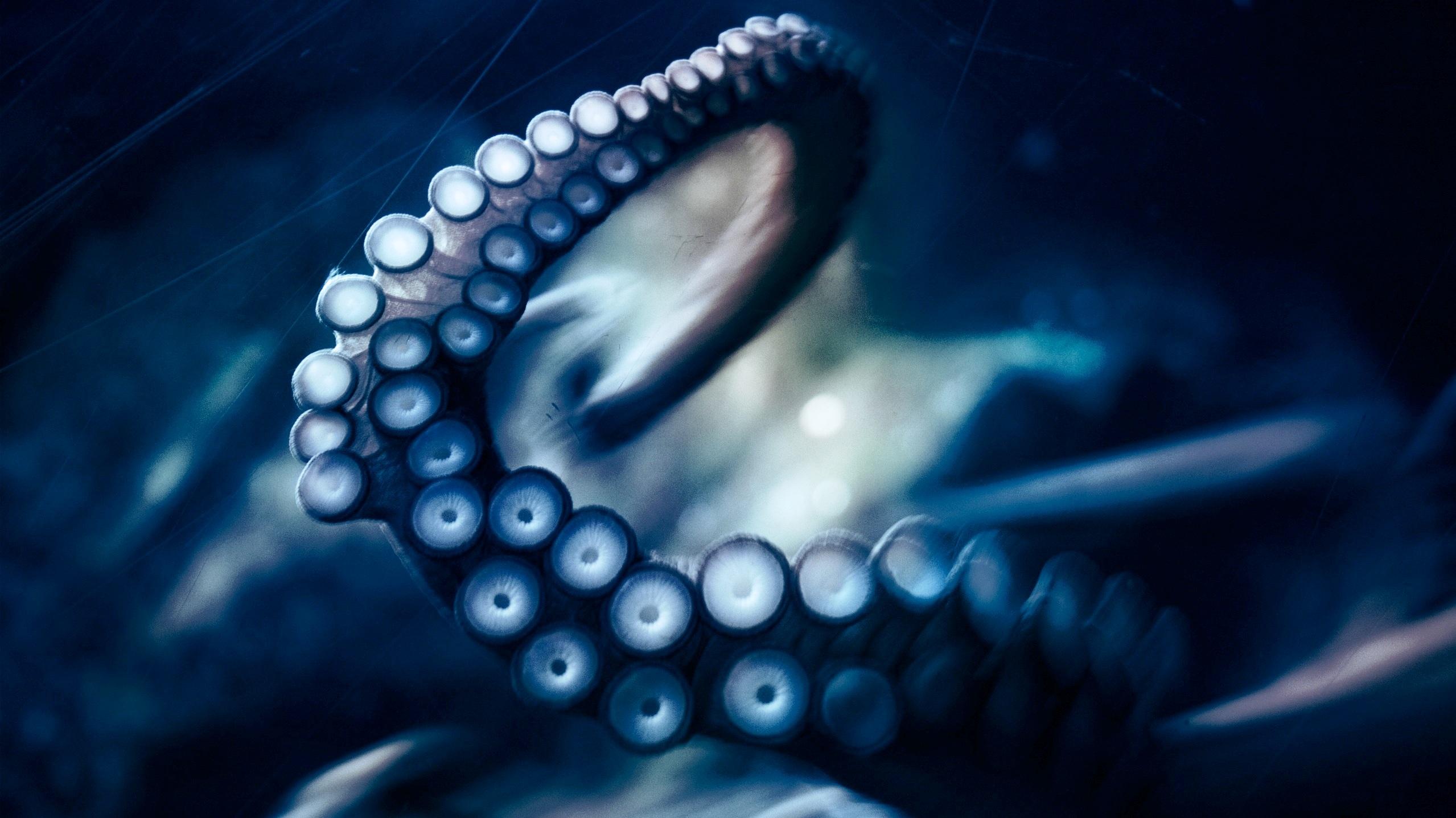 Animal Octopus Wallpaper