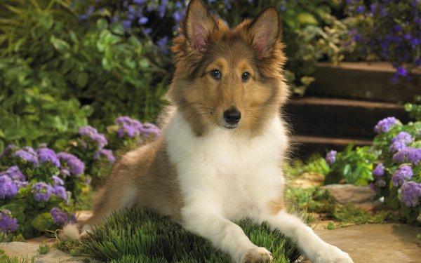 Animal Shetland Sheepdog Dogs Dog Puppy Baby Animal HD Wallpaper   Background Image
