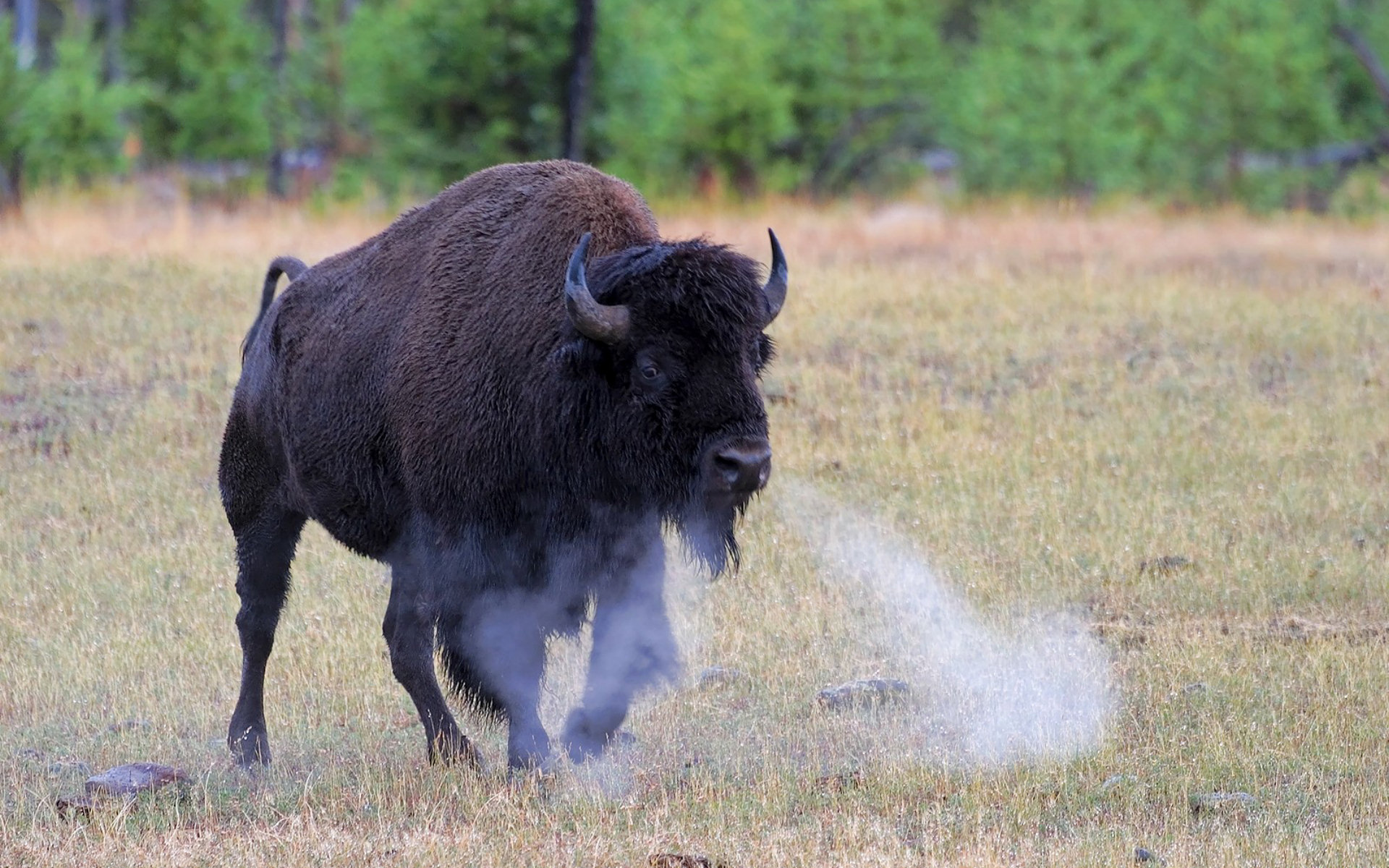 Bison Full HD Wallpaper and Background Image | 1920x1200 ...