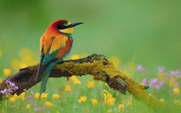 Tiere European Bee-Eater Vögel Bienenfresser Blume Frühling Vogel Natur Colorful Ast HD Wallpaper | Hintergrund