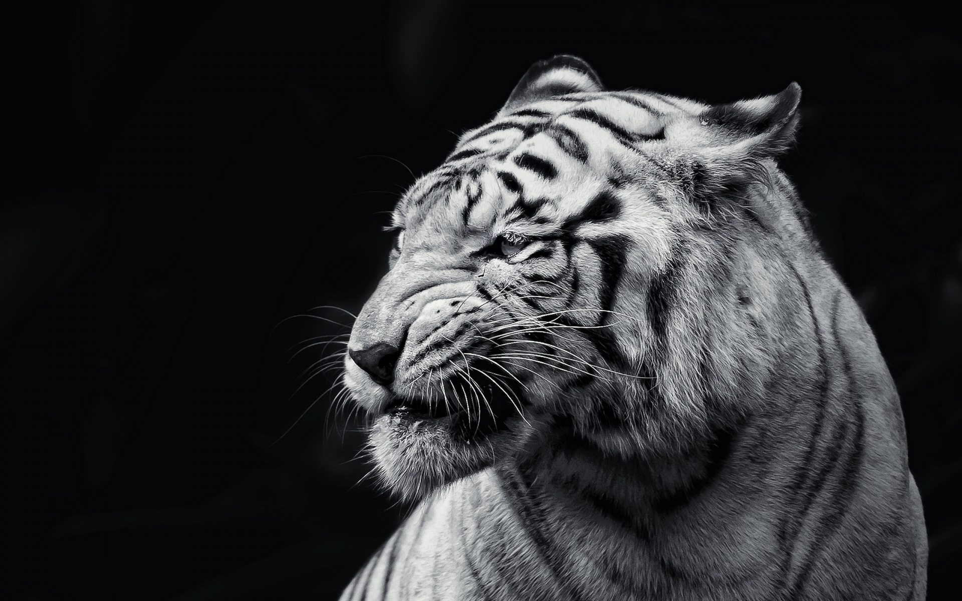 151 White Tiger Wallpapers | White Tiger Backgrounds Page 3