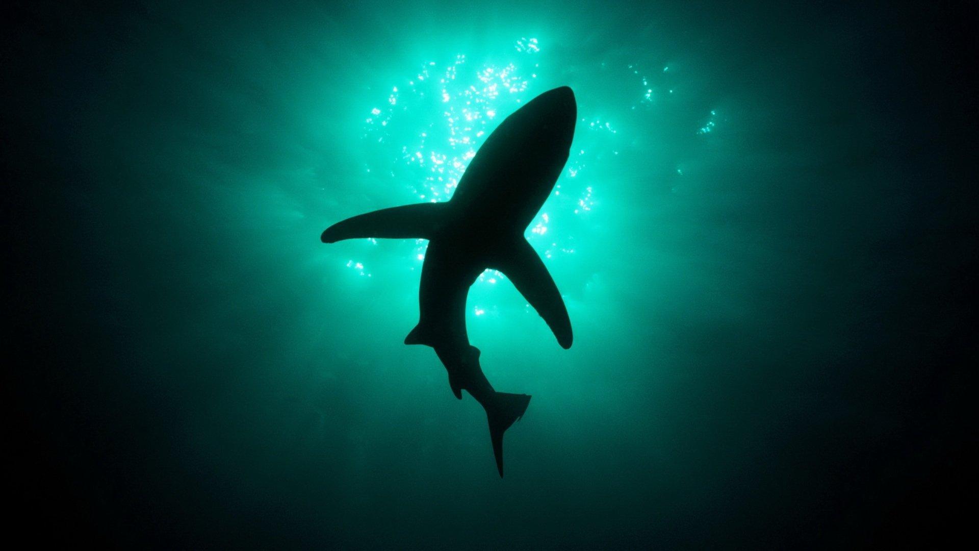 Animal - Shark  Wallpaper