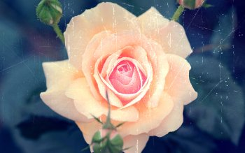 Earth - Rose Wallpapers and Backgrounds ID : 354546