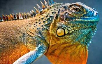 Animal - Iguana Wallpapers and Backgrounds ID : 354757