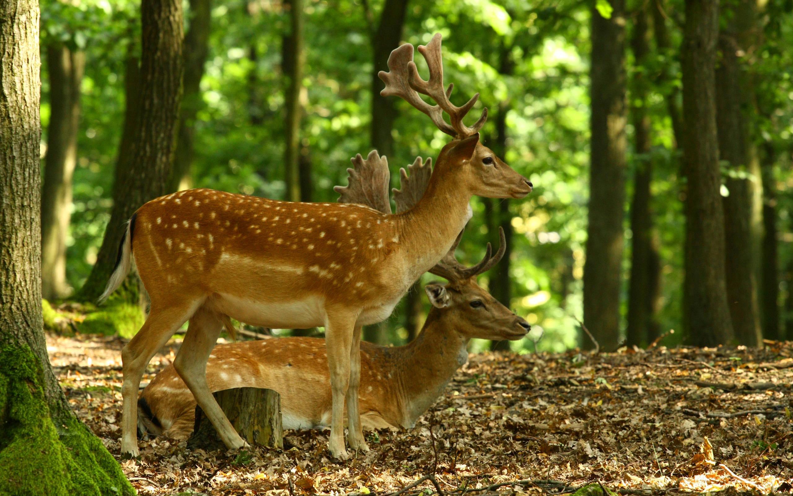 Deer Full Hd Wallpaper And Background 2560x1600 Id 355230
