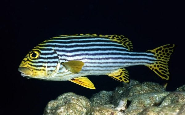Animal Fish Fishes Stripes Yellow HD Wallpaper | Background Image