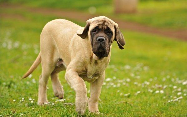 Animal Dog Dogs Mastiff HD Wallpaper | Background Image