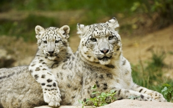 Animal - Snow Leopard Wallpapers and Backgrounds ID : 356037