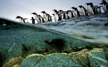Animal - Penguin Wallpapers and Backgrounds ID : 356525