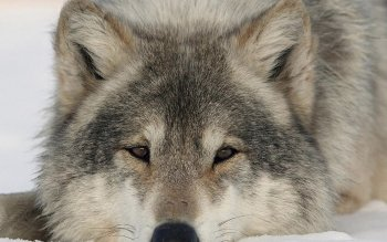 Dierenrijk - Wolf Wallpapers and Backgrounds ID : 356852