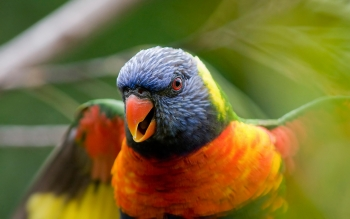 Animal - Rainbow Lorikeet Wallpapers and Backgrounds ID : 356951