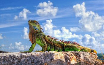 Animal - Iguana Wallpapers and Backgrounds ID : 357994