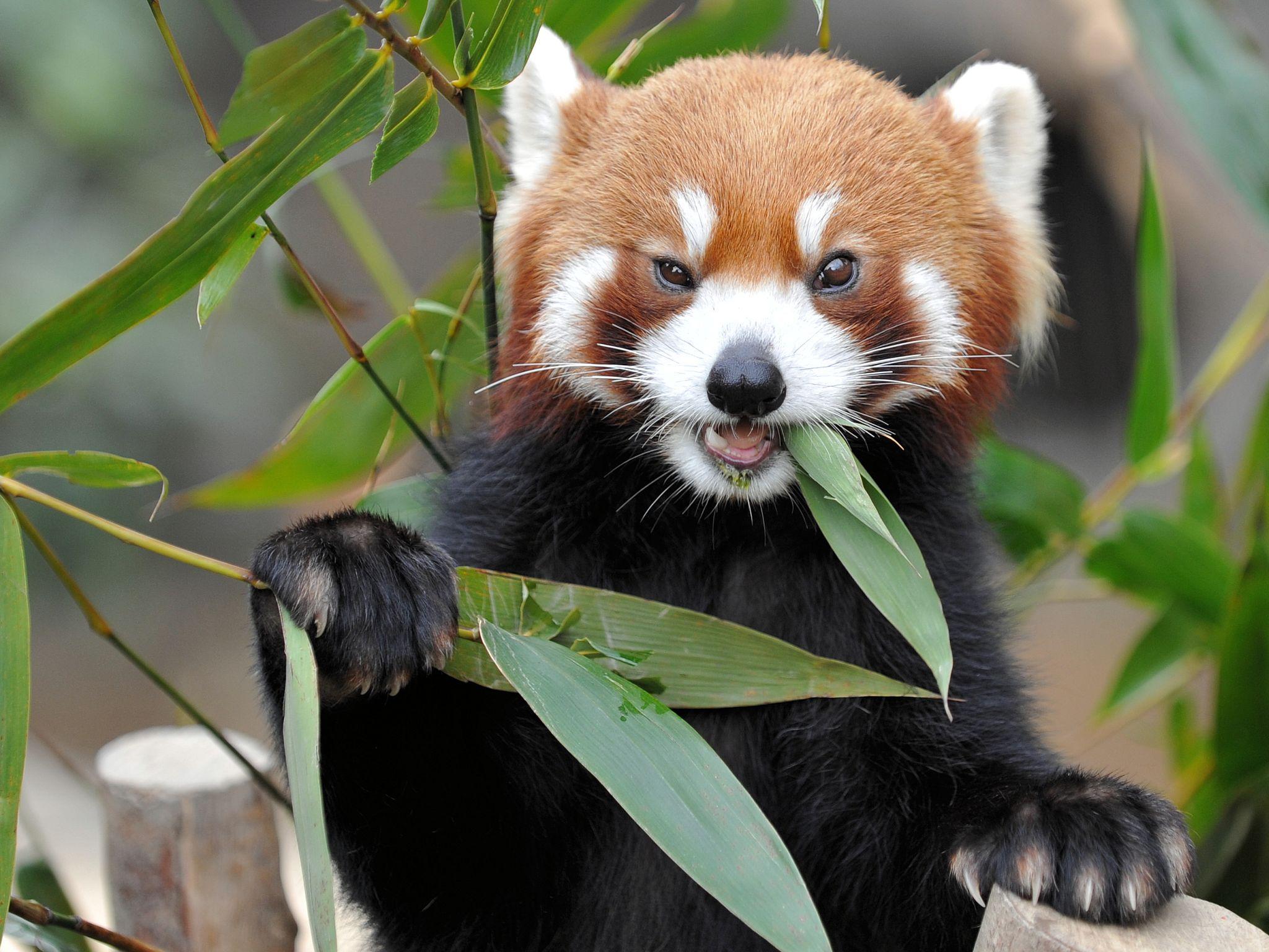 Red Panda wallpaper x