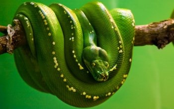 Animal - Snake Wallpapers and Backgrounds ID : 358835