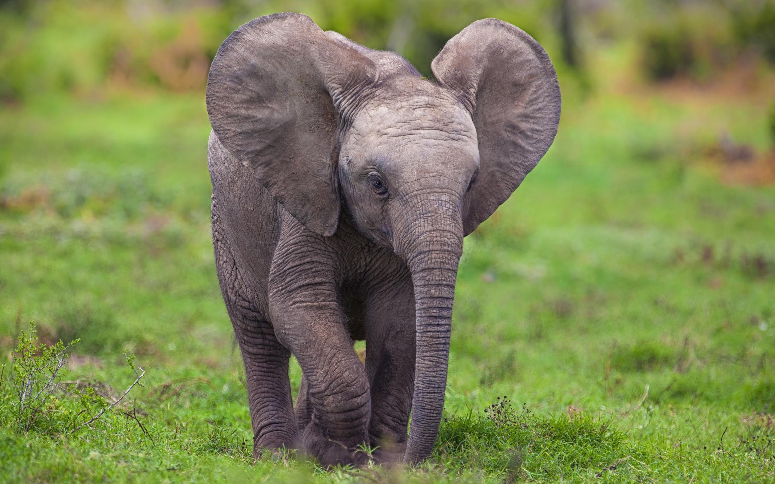 Elephant HD Wallpaper | Background Image | 2560x1600 | ID ...