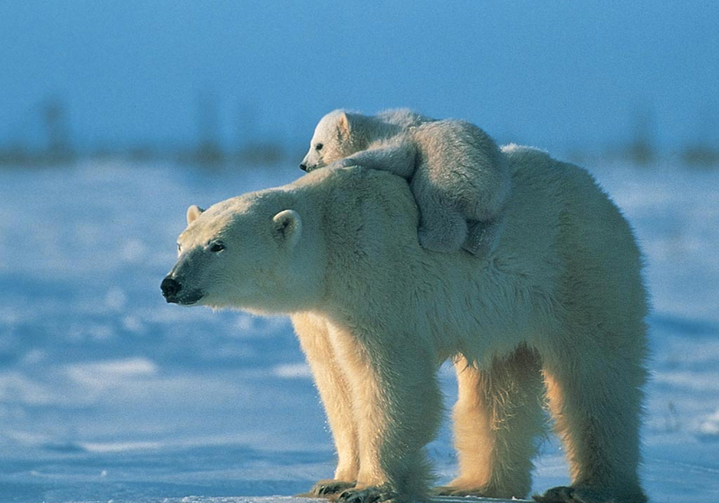 401 polar bear hd wallpapers | background images - wallpaper abyss