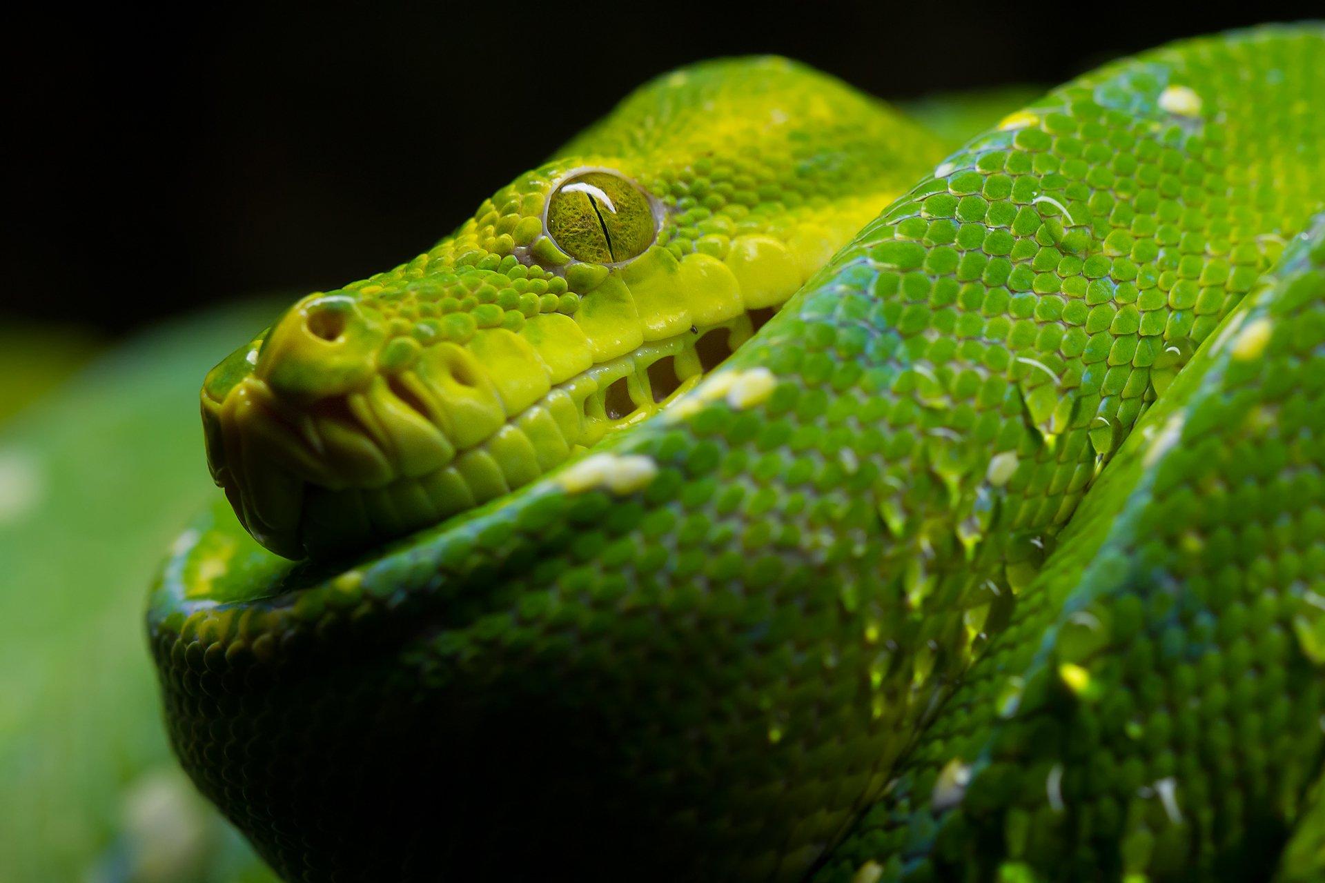 Snake HD Wallpaper | Background Image | 1920x1280 | ID ...