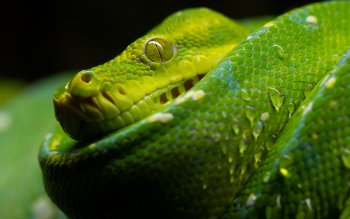 Animalia - Snake Wallpapers and Backgrounds ID : 362587