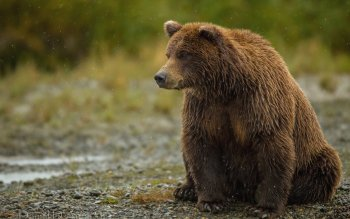 Animal - Bear Wallpapers and Backgrounds ID : 362837