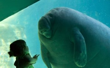 Animal - Manatee Wallpapers and Backgrounds ID : 363529