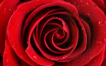 Earth - Rose Wallpapers and Backgrounds ID : 364719